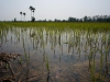 Auf diesen 600 Kilometern liegen unzählige Reisfelder...