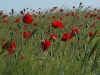 A poppy in the rye - es ist Mohnsaison