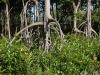 Mangroven als Lebenskünstler. Sie wachsen dort, wo die Bedingungen für gewöhnliche Bäume tödlich sind: Im Salzwasser