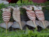 Zur Feier des Tages haben die Ringeltintenfische ihr schönstes Röckchen angezogen...
