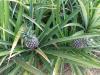 Reise-Erkenntnis Nr. 2054: Ananas wachsen am Strauch!