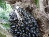Monokultur statt Urwald: Für die Gewinnung von Palmöl wurde halb Südostasien abgeholzt